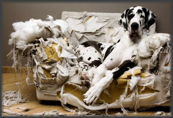 How Can I Stop My Dog Chewing The Furniture?   Chelsea Dogs