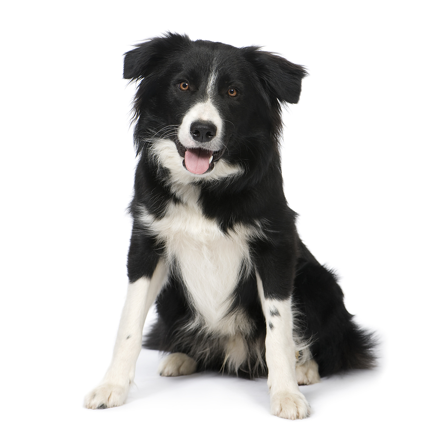 Top 10 most intelligent dog breeds for Best dog breed for you
