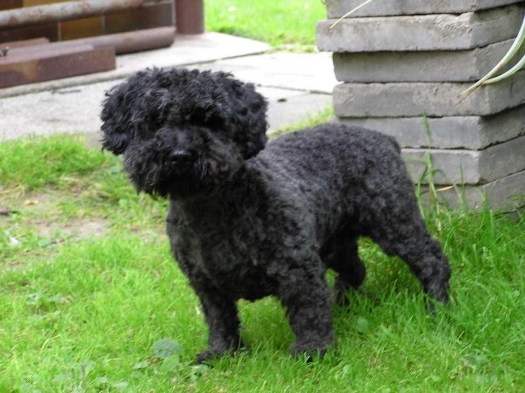 black-pumi-dog