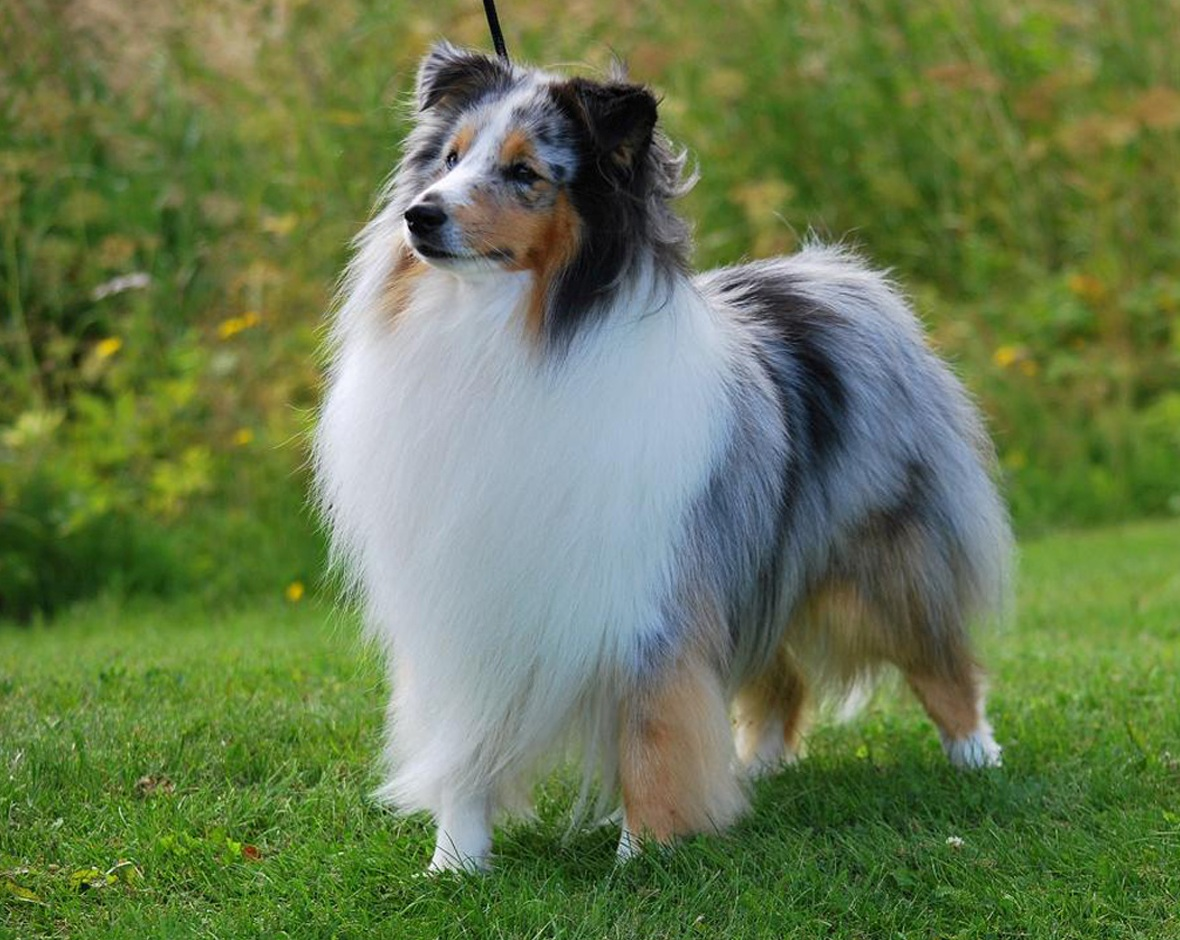 Top  Intelligent Dog Breeds