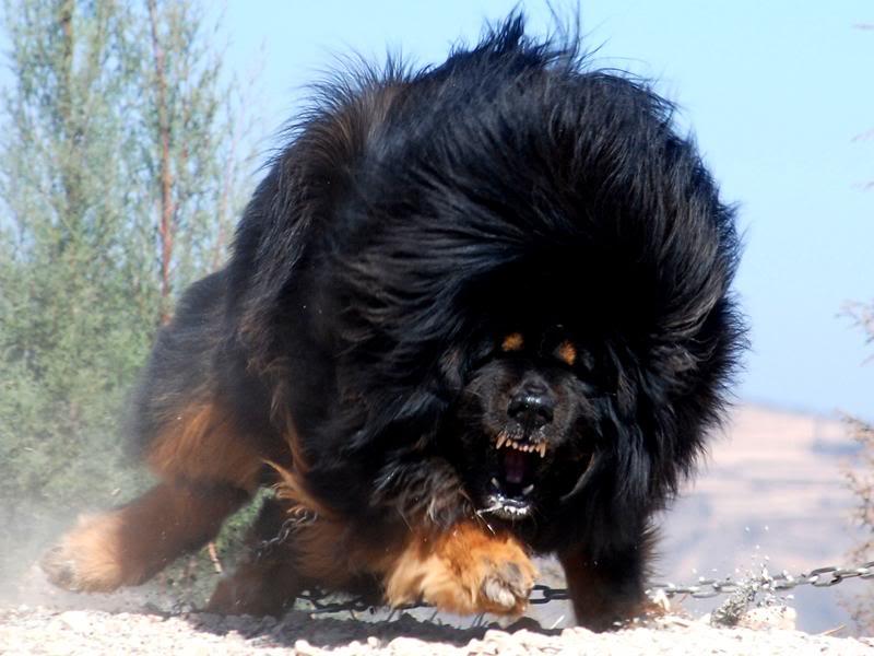 Biggest-Tibetan-Mastif...