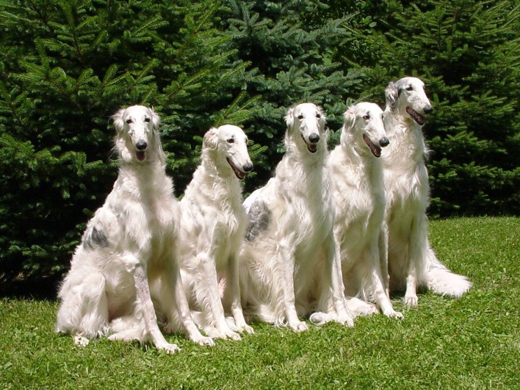 Borzoi dumbest dog breeds