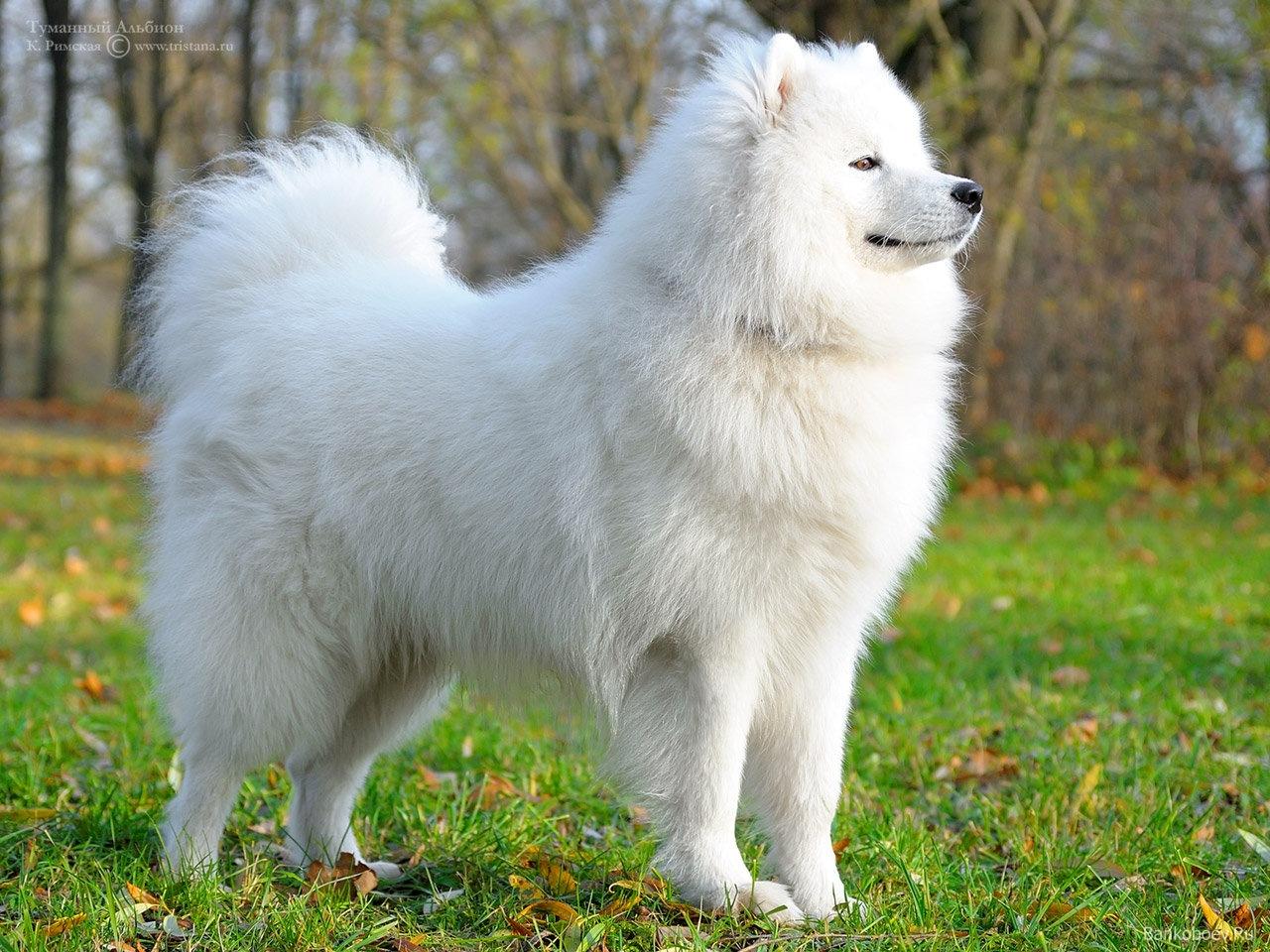 Big white fluffy dog breeds for pinterest