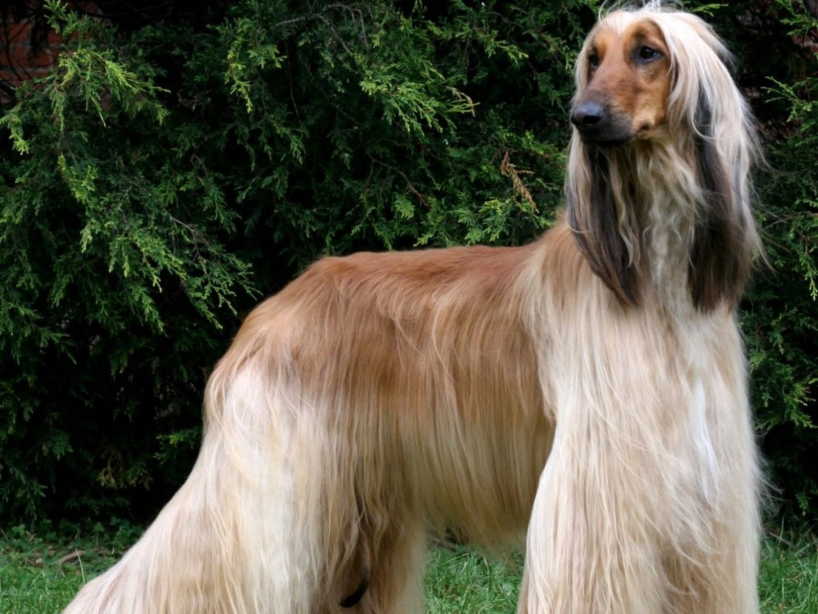 afgan hound top 10 dumbest dog breeds