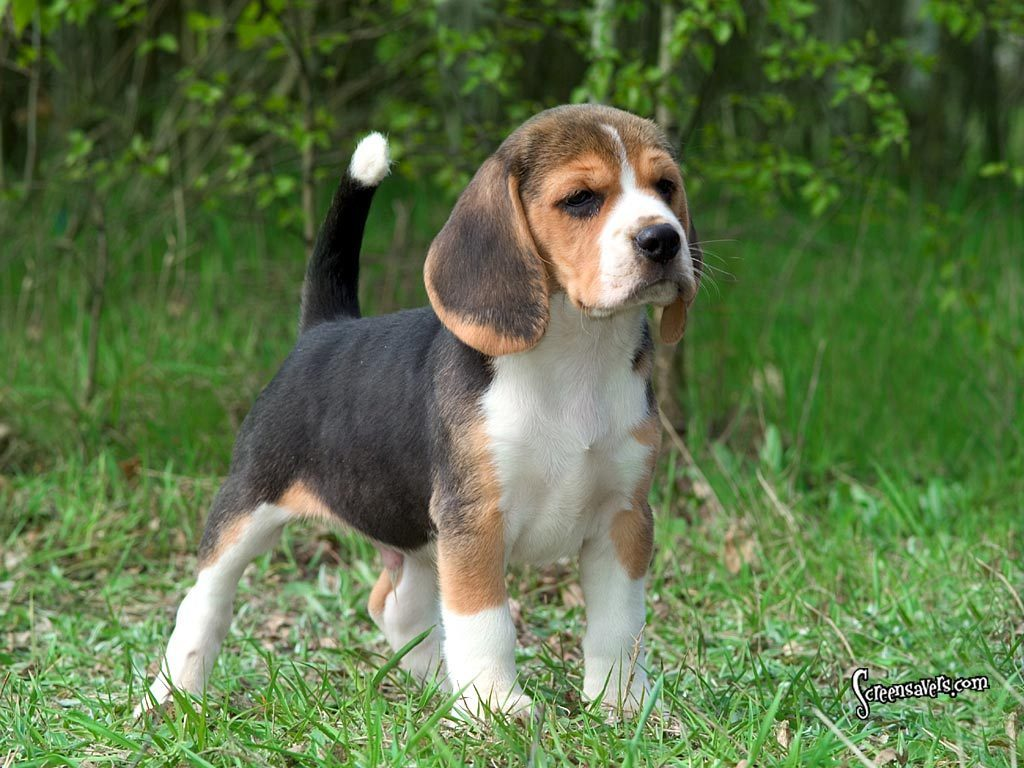 beagle dumbest dog breeds