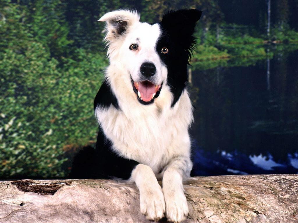 List Of Top Ten Smartest Dog Breeds