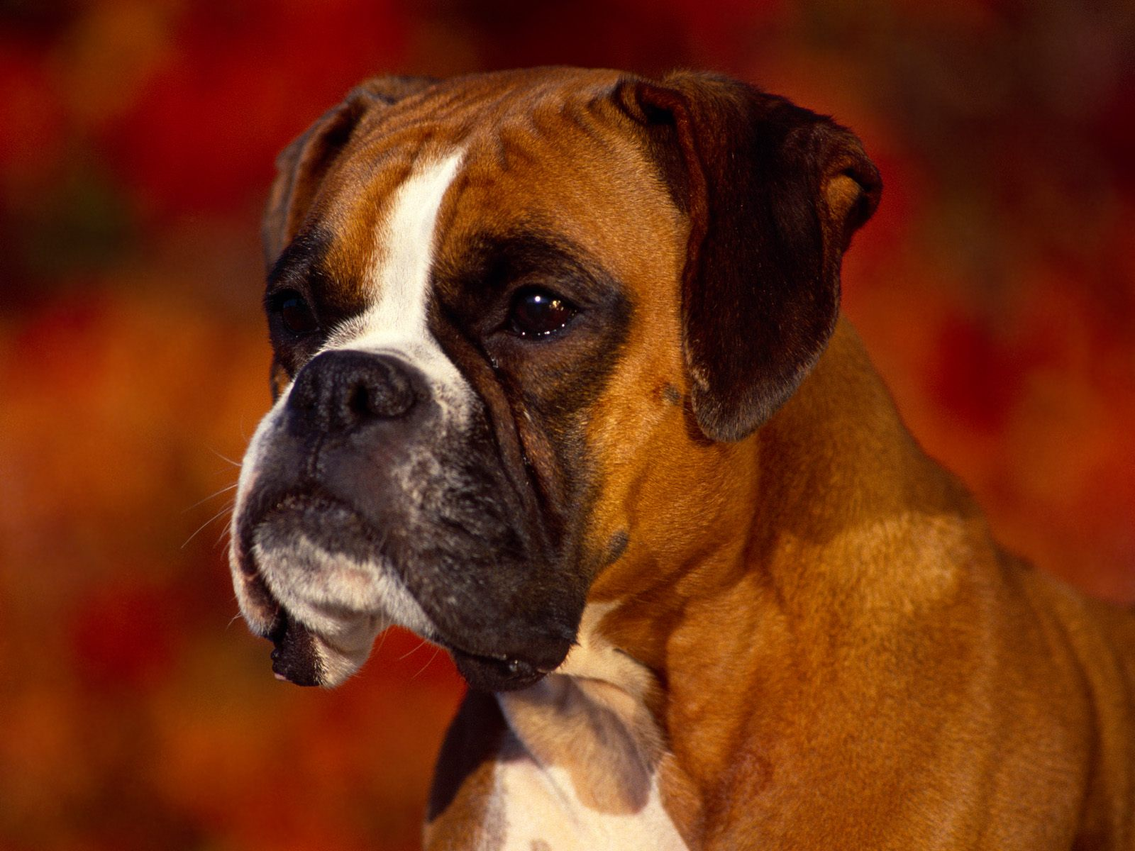 boxer top 10 dog breeds uk
