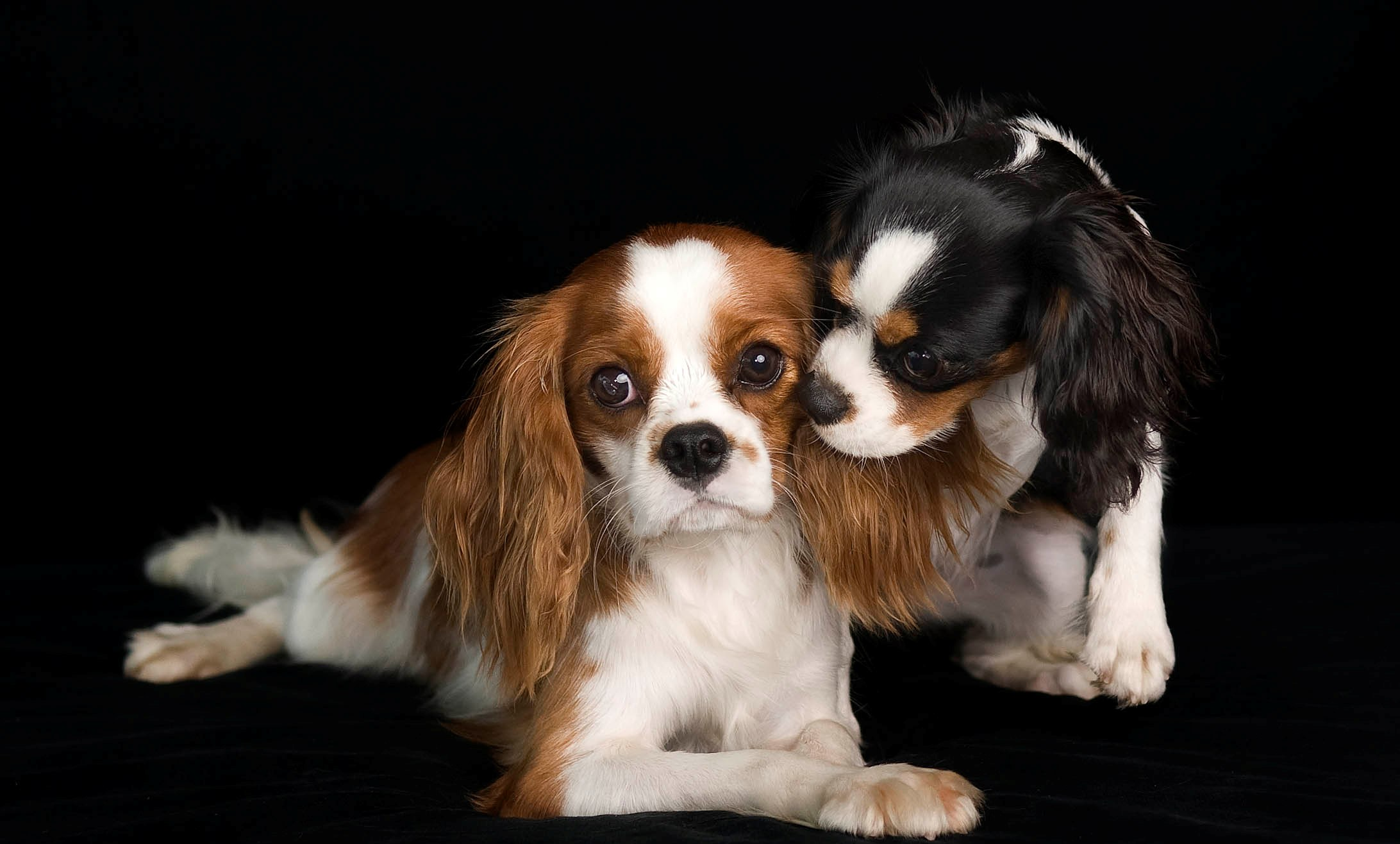 cavalier king charles spaniel top 10 dog breeds uk