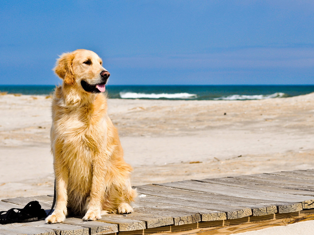 golden retriever top 10 dog breeds uk