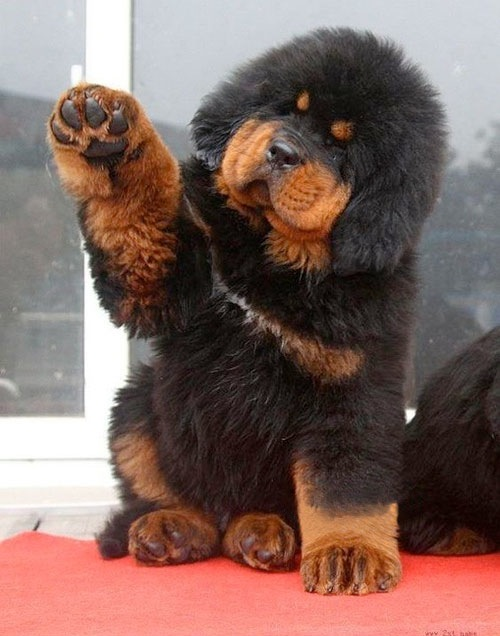 The World S Most Expensive Dog
