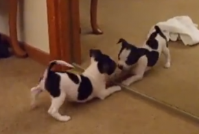 Puppy Playing in Mirror