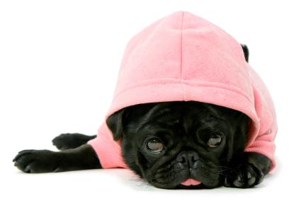 Cute black Pug puppy dog in a pink hoodie