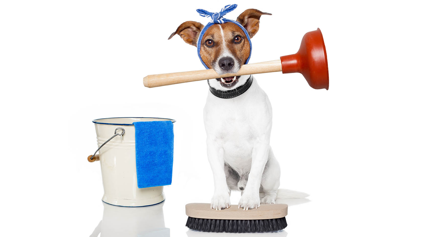 Dog Cleans House Jack Russell