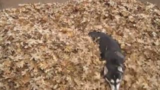 husky leaves
