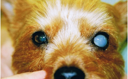 Lens Luxation Dog