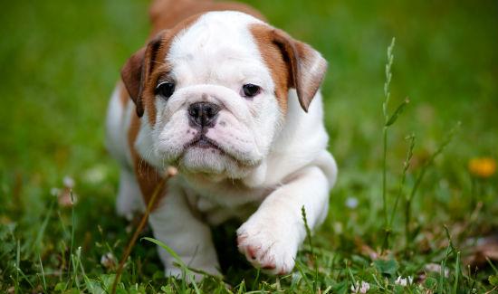 sophie-bulldog-blog