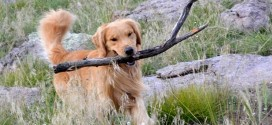 Golden Retriever Lifetime Study