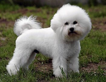 Hypoallergenic Dog Breeds That Don't Shed