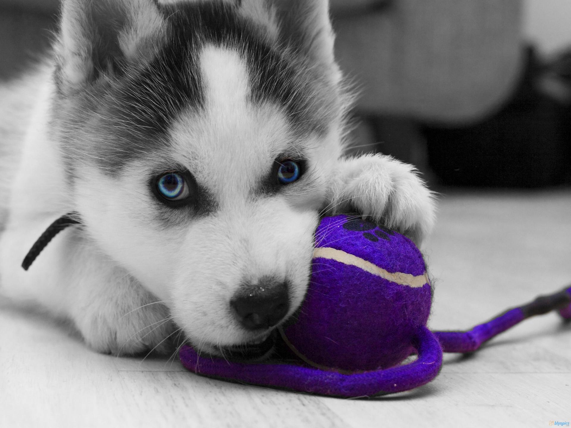 Husky Puppies At Play