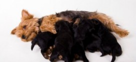 What To Expect During Your Dog's Pregnancy