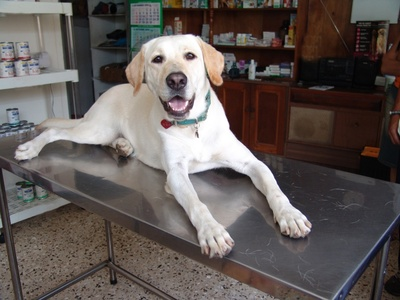 labrador retriever at the vet