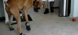 Boxer Can't Walk In Shoes