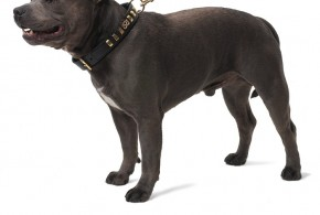 Collars For Staffies | Best Staffy Dog Collars