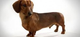 Dachshund Health Concerns