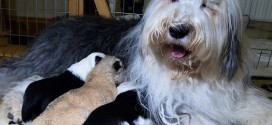 Sheepdog Adopts Abandoned Lion Cub As Her Own