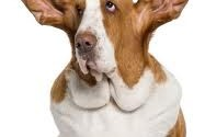 Ear infections in dogs: symptoms and treatment