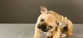 Fleas and your dog: symptoms and treatment