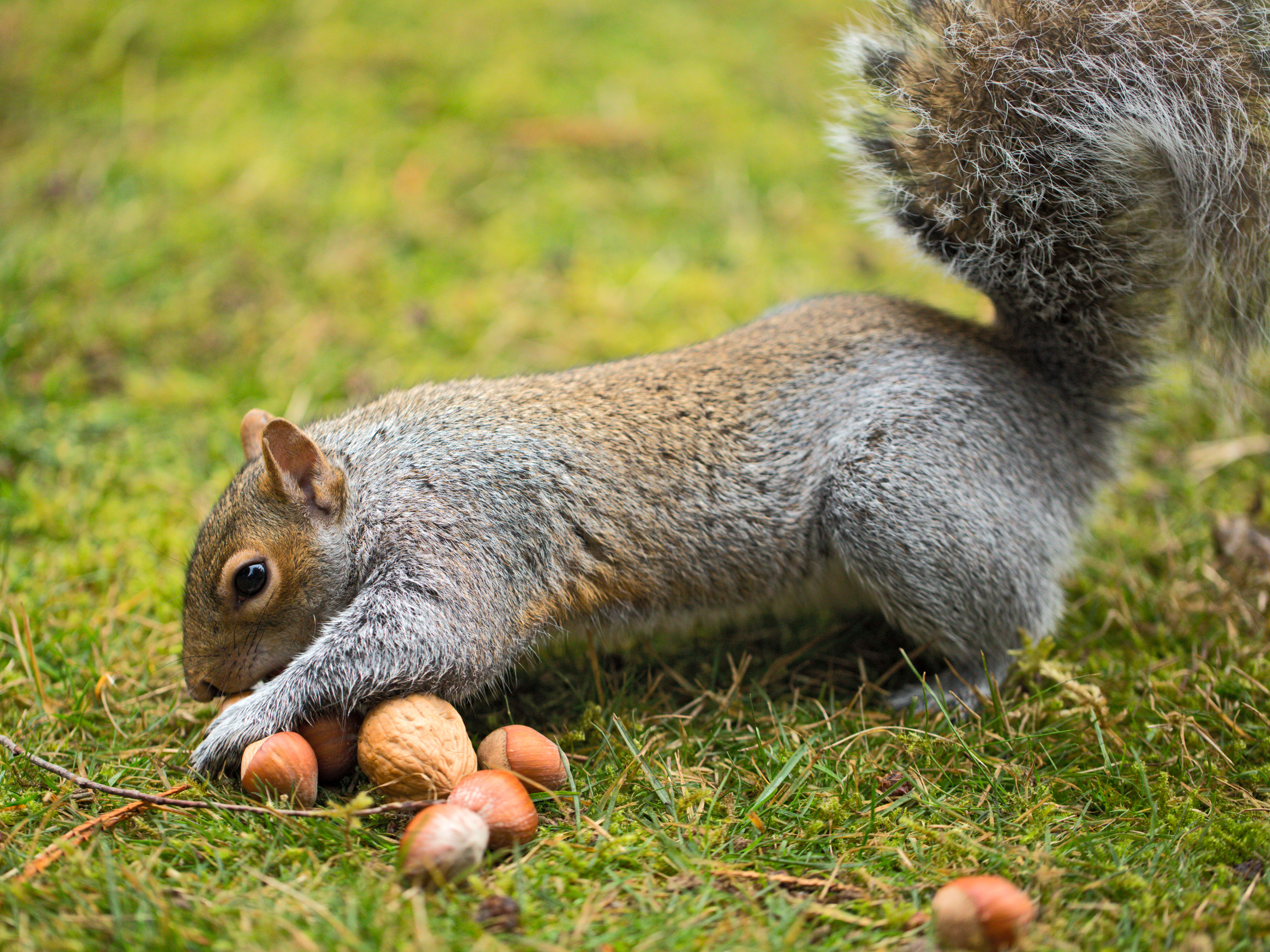 squirrel hides nut in fur of bernese mountain dog