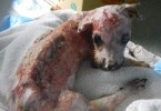 Tuffy dog rescued from boiling water attack 4
