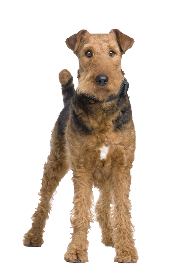 Airedale Terrier - Beds, Collars and Accessories