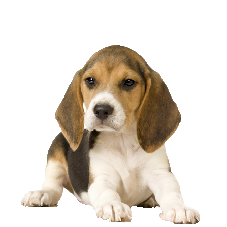 Beagle - Beds, Collars and Accessories