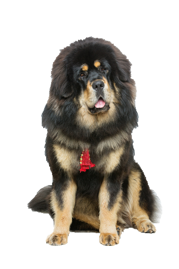Tibetan Mastiff - Beds, Collars and Accessories