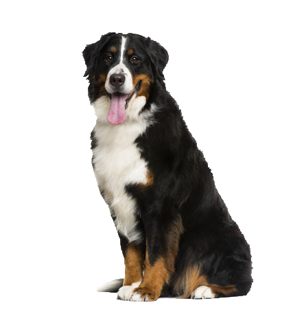 Bernese Mountain Dog - Beds, Collars & Accessories