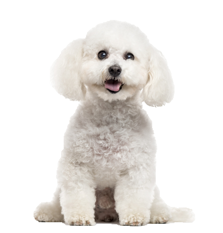 Bichon Frise - Beds, Collars and Accessories