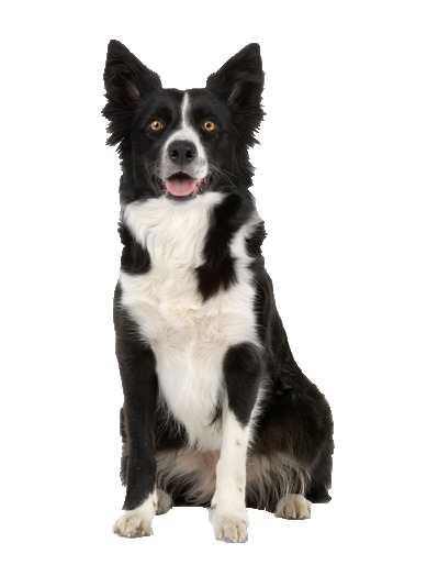 Border Collie - Beds, Collars and Accessories