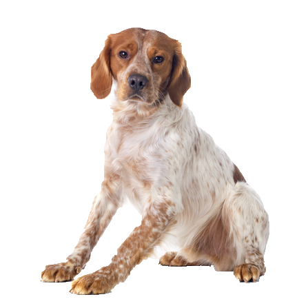 Brittany Spaniel - Beds, Collars & Accessories