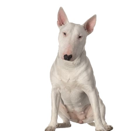 Bull Terrier - Beds, Collars & Accessories