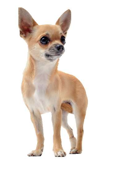 Chihuahua - Beds, Collars and Accessories