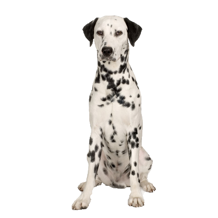 Dalmation - Beds, Collars and Accessories
