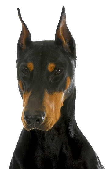 Doberman - Beds, Collars and Accessories