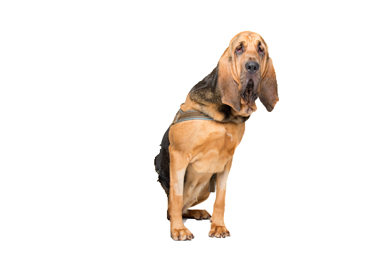 Bloodhound - Beds, Collars and Accessories