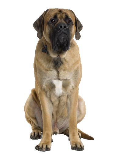English Mastiff - Beds, Collars and Accessories