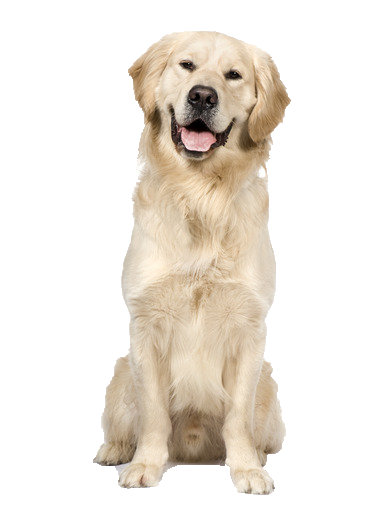 Golden Retriever - Beds, Collars and Accessories