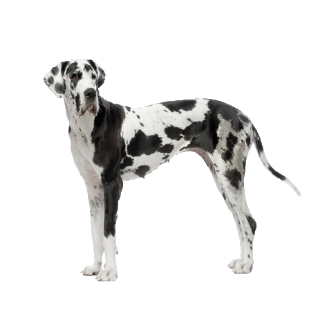 Great Dane - Beds, Collars and Accessories