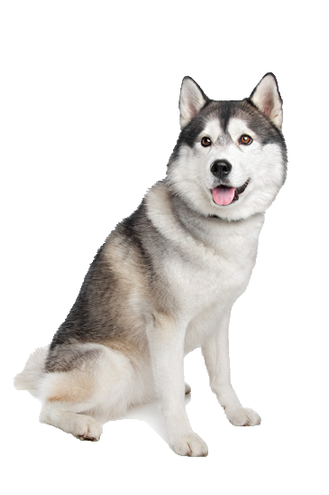 Siberian Husky - Beds, Collars and Accessories