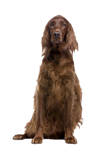 Irish Setter - Beds, Collars and Accessories